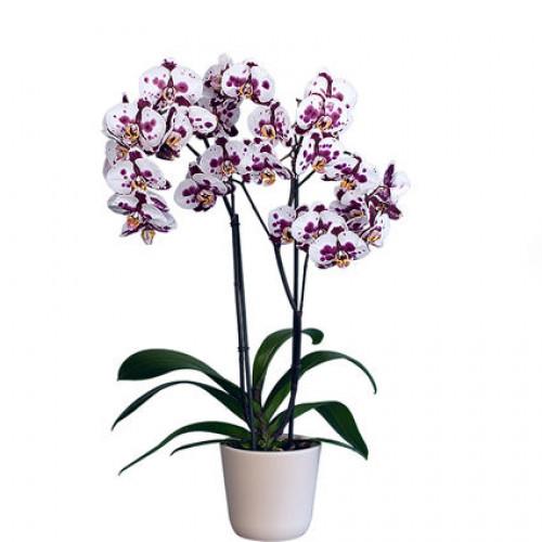 Купить на заказ Заказать Орхидея микс. с доставкой по Богровое  с доставкой в Боровом