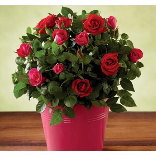 Купить на заказ Заказать Роза комнатная с доставкой по Богровое  с доставкой в Боровом